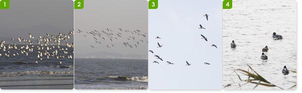 서해안의 섬들은 갯벌이 잘 발달되어 있어서 새들의 먹잇감이 풍부하다 / 검은모리물떼새가 내려앉기 전 활공 / 겨울철새 기러기 /난지섬 해안의 청둥오리
